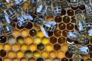 Bienen Drohnen