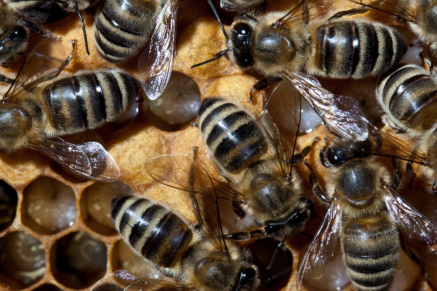 Bee-Family Bienenvolk